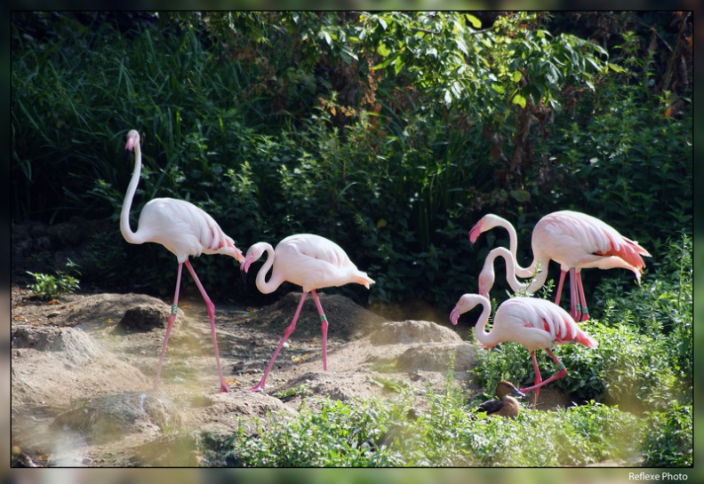 Flamants roses 01.JPG